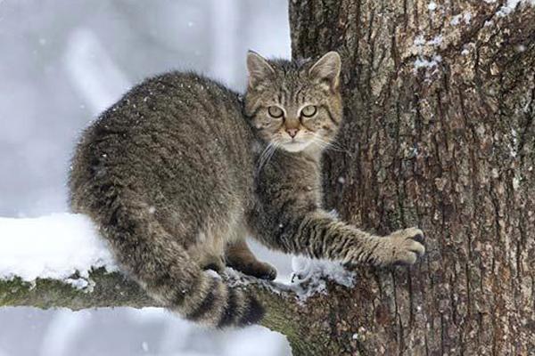 Лучик света - энциклопедия для детей: животные. Лесной кот